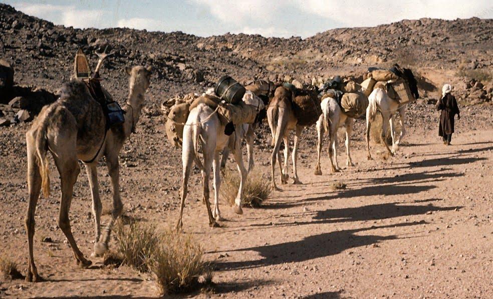 Africa camels web