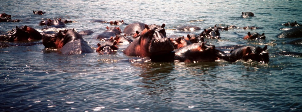 Africa hippos swim web